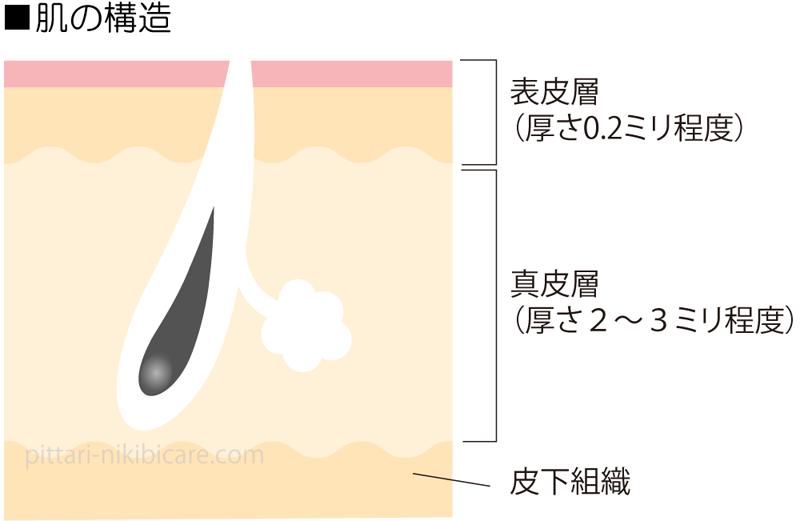 表皮層と真皮層
